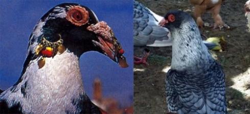 گروه تلگرامی کبوتر های مسافتی عکسهای جالب از انواع کبوتر